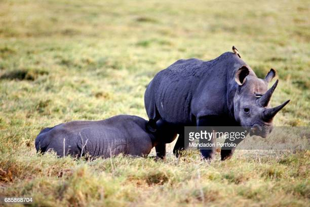 A sherhino with her cub in Tsavo National Park Kenya 1986