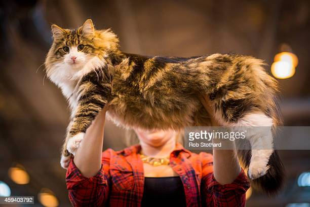 Sherman, a Norwegian Forest Kitten, is held by its owner before being judged at the Governing Council of the Cat Fancy's 'Supreme Championship Cat...