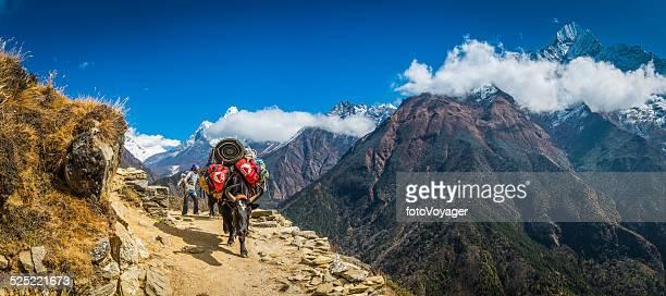 Sherpa yak driver dzo carrying kit down Himalaya mountain trail