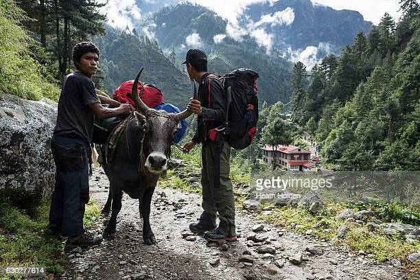 Sherpas and porters adjust the load on a Dzopkio or Zopkio a yak / cow hybrid used on the trails in lower elevations on September 20 2016 in Namche...