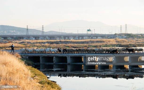 sherperd and flock crossing a birdge at dawn. - emreturanphoto stock pictures, royalty-free photos & images