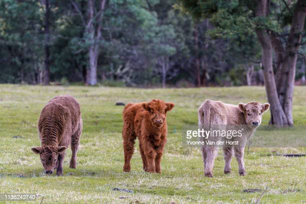 shetland calves  a small cattle breed from the shetland isles of scotland. - small stock pictures, royalty-free photos & images