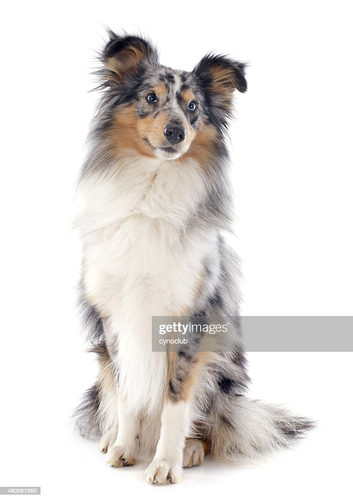 shetland dog : Stock Photo