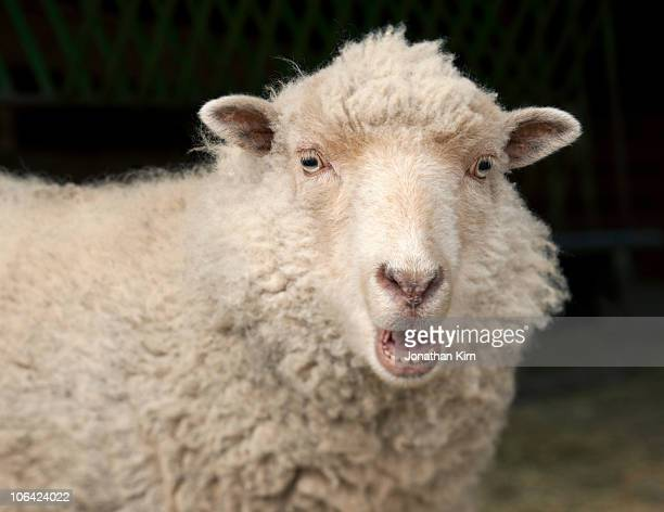 Shetland Ewe sheep makes a baa sound.