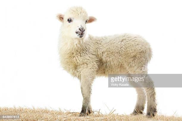 Shetland Merino lamb standing in hay.