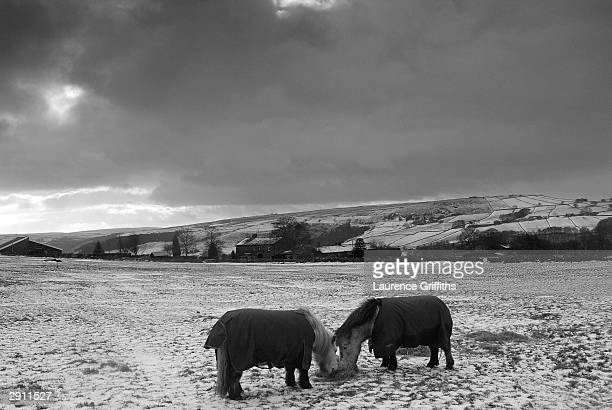 Shetland Ponies feed on Snowy hills on the West Yorkshire Moors on January 29 2004 in Hebden Bridge England
