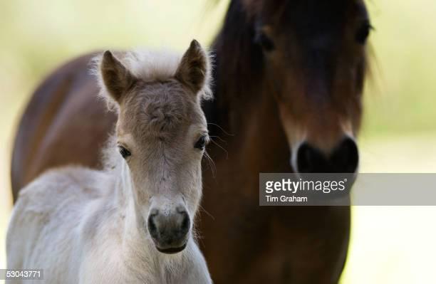 Shetland pony and foal North Island New Zealand