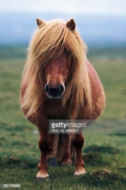 Shetland pony Equids Unst Shetland Isles Scotland United Kingdom