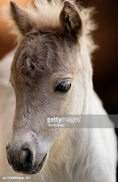 shetland pony foal, new zealand - one animal stock pictures, royalty-free photos & images