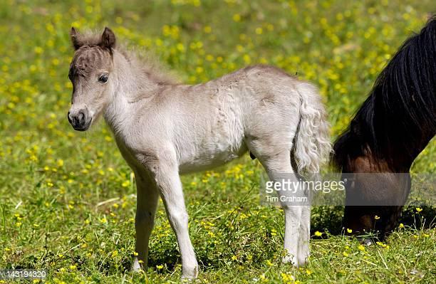 Shetland pony foal North Island New Zealand