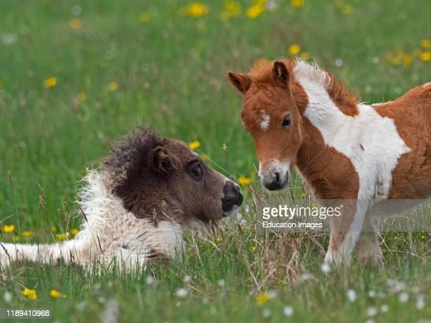 Shetland Pony foals in a pasture spring Shetland
