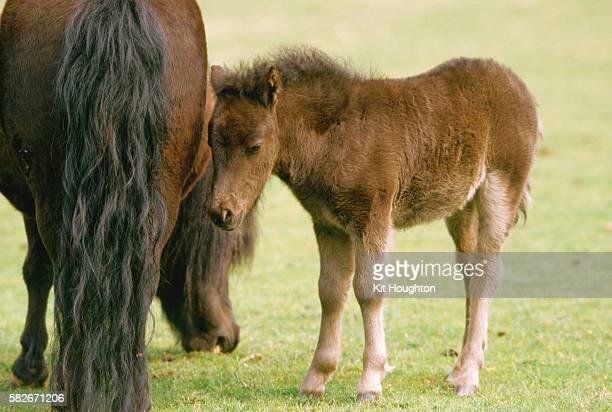 Shetland Pony Mare and Foal Grazes