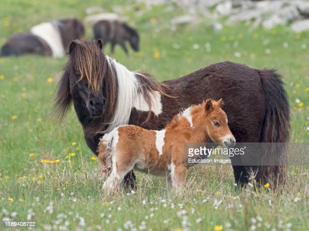 Shetland Pony mother with foal in pasture spring Shetland