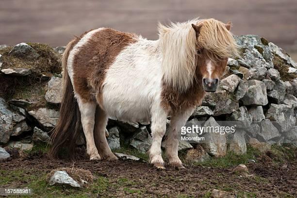 pony shetland di unst - isole shetland foto e immagini stock