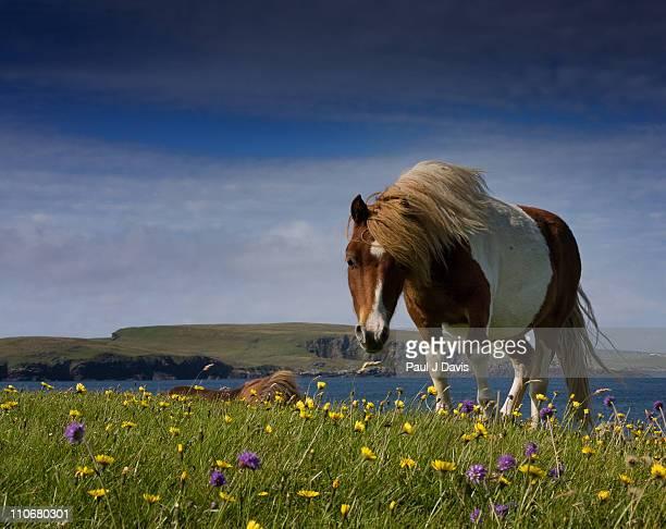 shetland pony - isole shetland foto e immagini stock