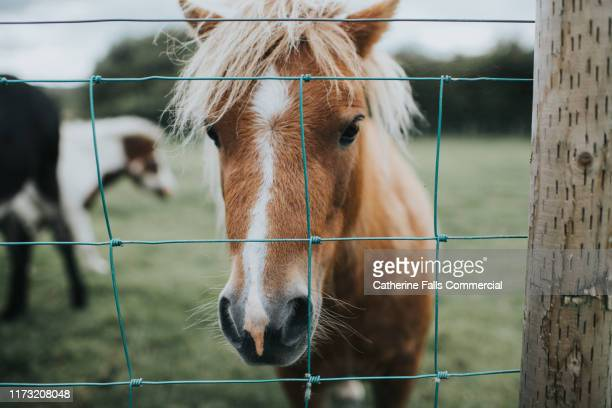 shetland pony - ranch stock pictures, royalty-free photos & images