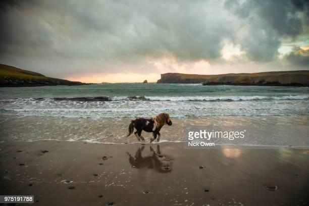 shetland pony running along beach, shetland islands, scotland, uk - isole shetland foto e immagini stock