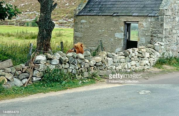 Shetland Pony Scotland