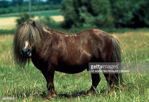 Shetland pony stallion Equidae