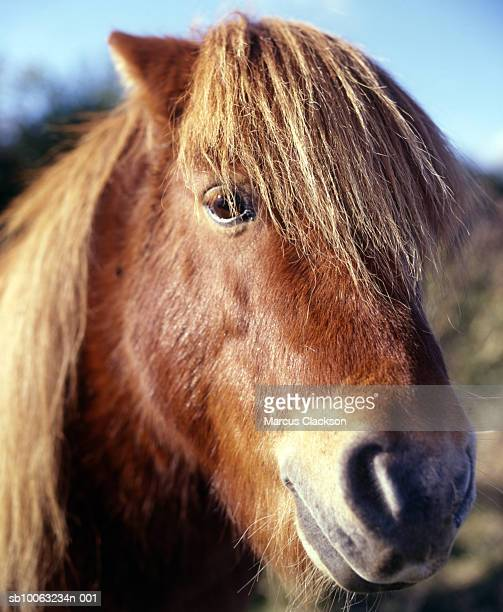 Shetland Pony standing outdoors, close up