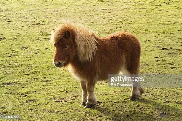 Shetland Pony stood in a field, Scotland