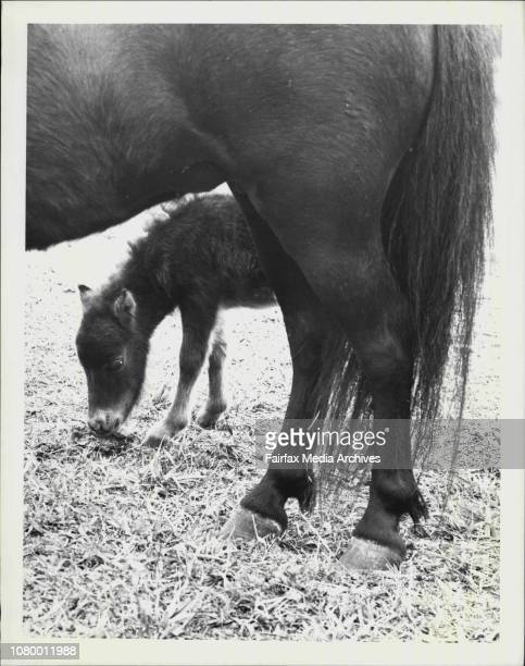 Shetland Pony Winnie could not understand when she bore this tiny filly Minnie last Saturday that she had to care for itThe mother abandonned the 45...