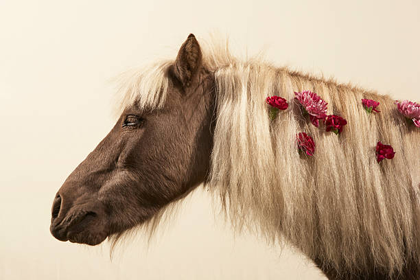 Shetland pony with flowers in mane, side view