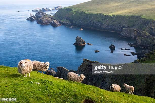 shetland sheep at clifftop edge - isole shetland foto e immagini stock
