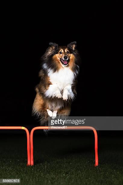 Shetland Sheepdog jumping over hurdle at night