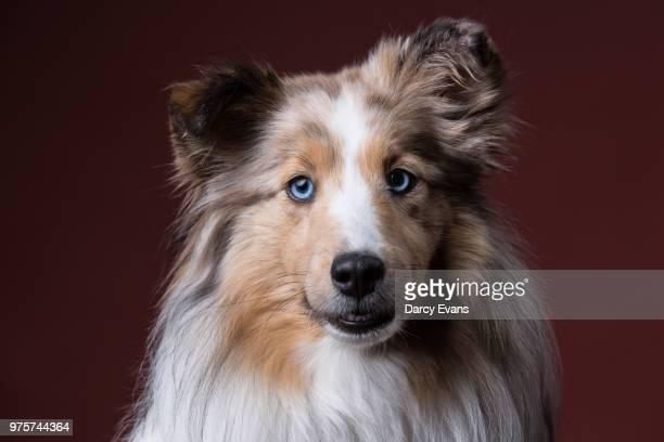 shetland sheepdog looking at camera - コリー ストックフォトと画像