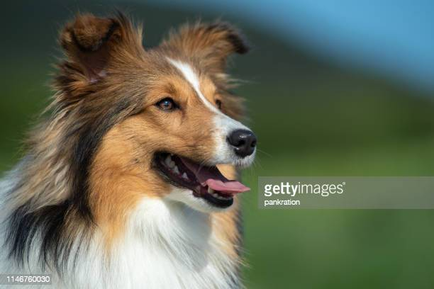 shetland sheepdog portrait in the nature - crufts stock pictures, royalty-free photos & images