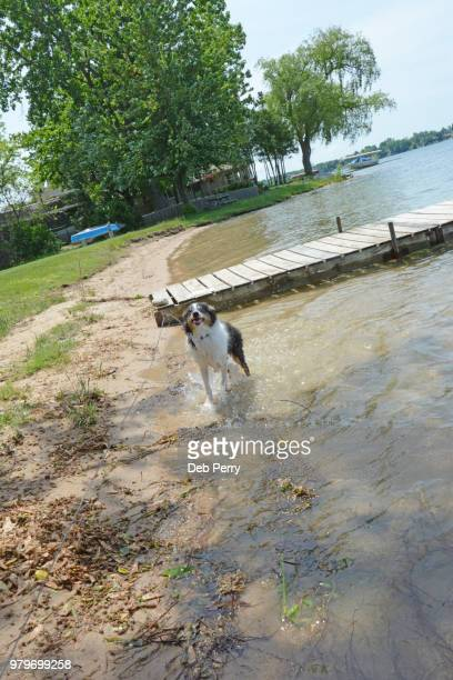 shetland sheepdog (sheltie) pup plays in the water - young hairy pics stock photos and pictures
