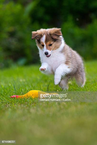 shetland sheepdog puppy playing with toy on grassy field - collie stock pictures, royalty-free photos & images