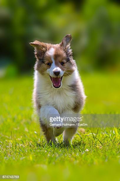 shetland sheepdog puppy walking on grassy field during sunny day - collie stock photos and pictures