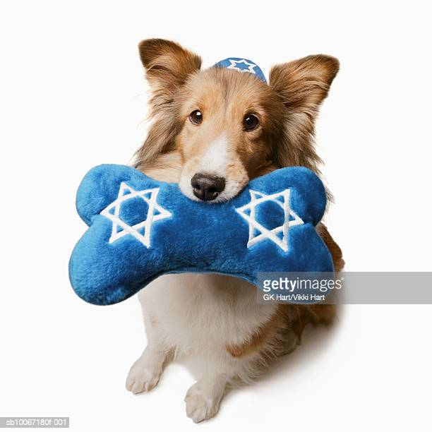 Shetland Sheepdog wearing yamulka holding toy bone with Stars of David on, studio shot