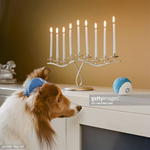 Shetland Sheepdog wearing yamulka looking at Menorah