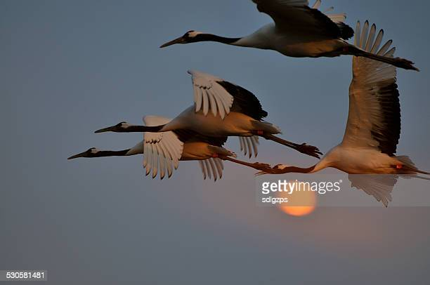 sheyang red crowned crane reserve - crane bird stock photos and pictures