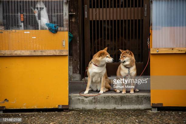 shiba dog - takayama city stock pictures, royalty-free photos & images