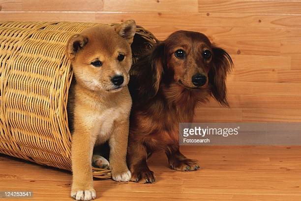 A Shiba Inu and a Miniature Dachshund Coming Out of a Basket Placed On a Wooden Floor, Looking Sideways, Side View