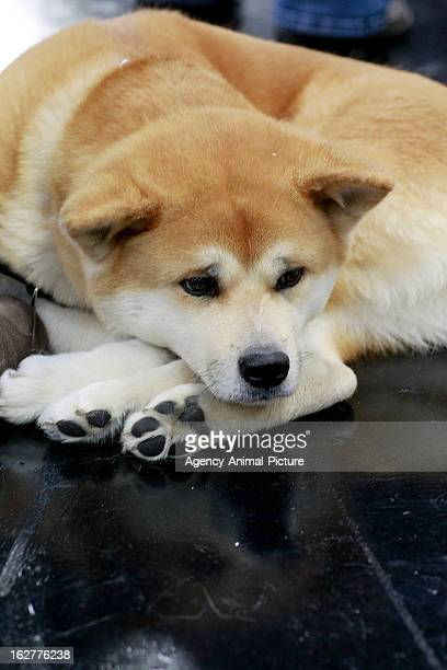 Shiba Inu at the CACIB dog exhibition at the Exhibition Centre Nuernberg on January 14 2012 in Nuernberg Germany