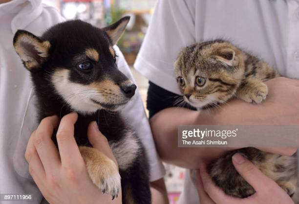 A shiba inu dog and A Scottish Fold are seen on December 21 2017 in Osaka Japan The number of pet cats surpasses that of dogs for the first time...
