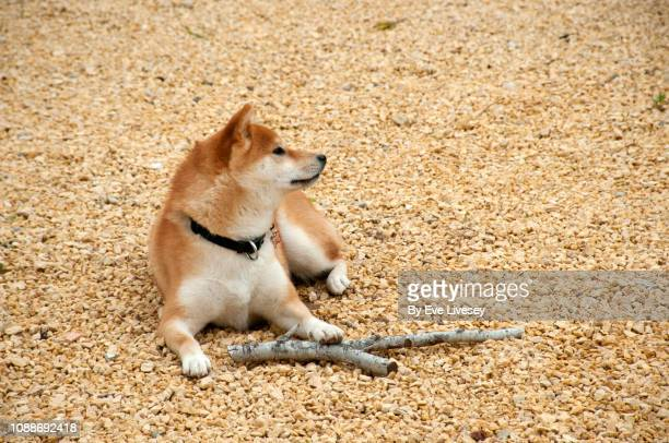 shiba inu dog guarding a stick - shiba inu winter stock pictures, royalty-free photos & images