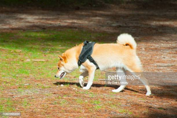 shiba inu dog - shiba inu lights stock pictures, royalty-free photos & images