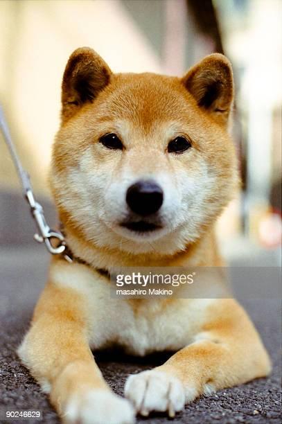 A Shiba Inu dog