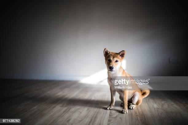 Shiba Inu dog portrait, Malaysia