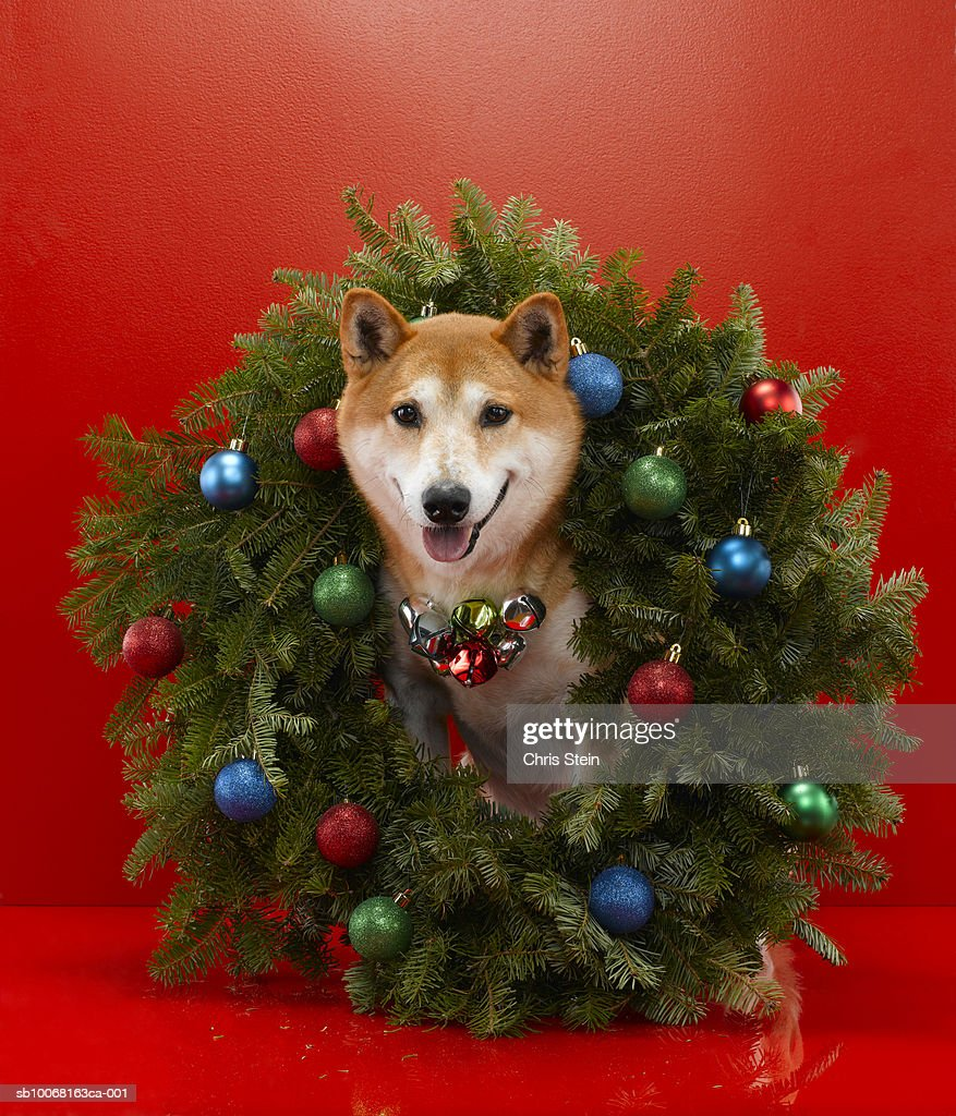 Shiba Inu Dog Sitting In Christmas Wreath Stock-Foto | Getty Images
