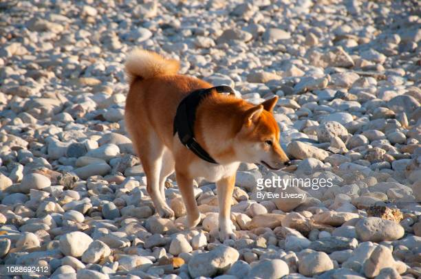 shiba inu dog walking on a pebble beach - fuchspfote stock-fotos und bilder