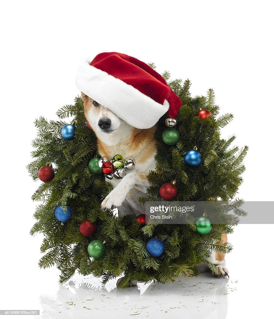 Shiba Inu Dog Wearing Santa Hat Sitting In Christmas Wreath Stock ...