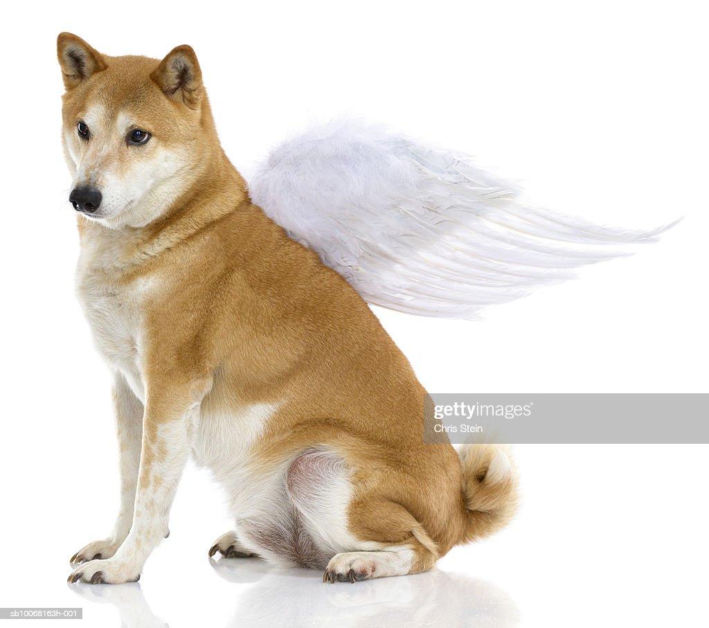 Shiba Inu Dog with angel wings, studio shot : Stock-Foto