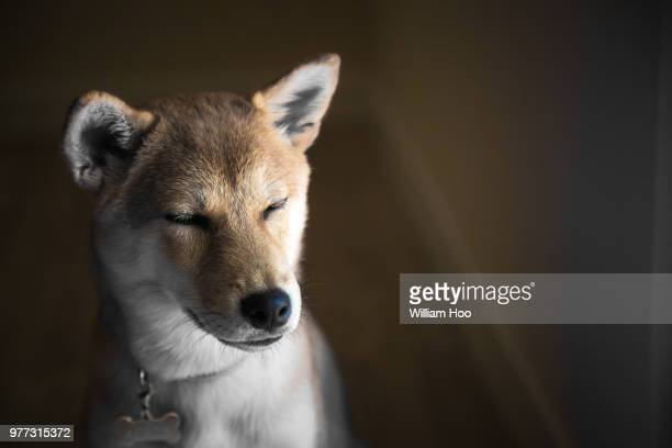 Shiba inu dog with closed eyes